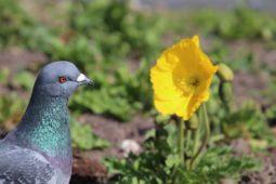 Jak jsme holuby pořídili